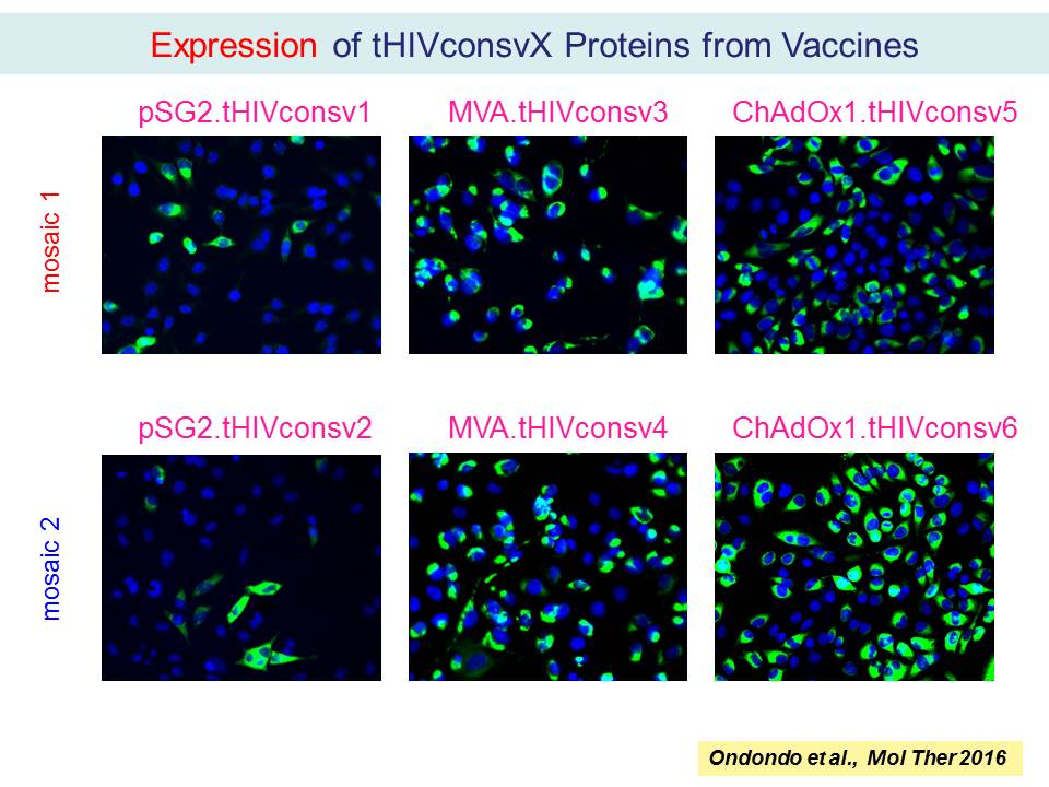 Expression of tHIVconsvX Proteins from Vaccines
